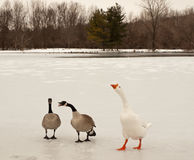 Free Canada And Snow Geese Royalty Free Stock Images - 18711239