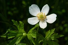 Canada Anemone - Anemone canadensis Stock Image
