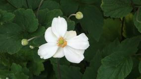 Canada Anemone stock video footage