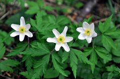 Canada Anemones Blooming in Spring Royalty Free Stock Photos