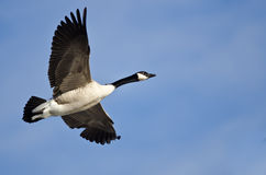 canada błękitny niebo latający gęsi Fotografia Royalty Free