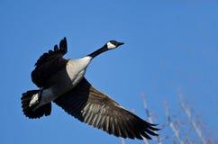 canada błękitny niebo latający gęsi Zdjęcia Royalty Free
