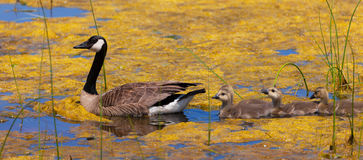 Canada baby geese, Branta canadensis, in a lake Royalty Free Stock Photos