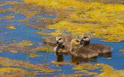 Canada baby geese, Branta canadensis, in a lake Stock Image