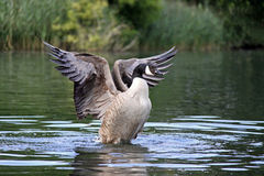 Canada / Canadian Goose flapping wings Stock Photos