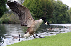 Canada / Canadian Goose landing on a riverside Stock Image