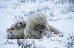 Canada Churchill polar bear cubs playing in snow Royalty Free Stock Image