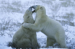 Canada Churchill polar bear cubs playing in snow Royalty Free Stock Photography