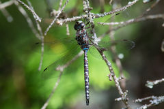 Canada Darner Stock Photography