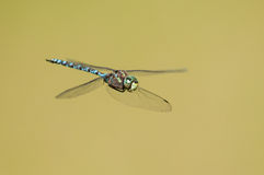 Canada Darner. In flight stock images