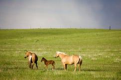 Canada de cheval et de poulain Images stock