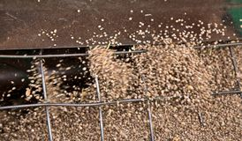 Canada de lentilles de récolte Photo libre de droits