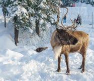 Canada du nord de Vancouver - 30 décembre 2017 : Renne dans un paysage d'hiver à la montagne de grouse image libre de droits
