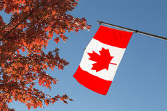Canada Flag and Maple Tree. The Canadian National Flag and a Maple Tree Royalty Free Stock Photos