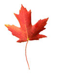 Canada flag symbol. Maple leafe isolate and with clipping path stock images