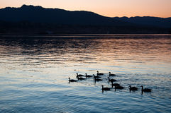 Canada Geese. Silhouetted against the water Stock Image