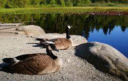 Canada geese. Resting by the lake royalty free stock photo