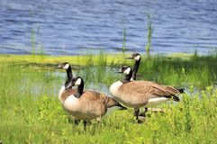 Canada Geese Stock Photos
