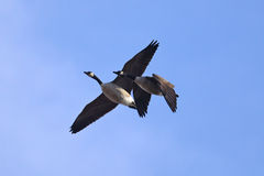 Canada Geese. A pair of Canada Geese  flying against blue sky Stock Photos