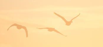 Canada Geese Stock Photos