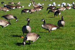 Canada Geese. Group of canadian geese on the green grass background, Shallow focus Royalty Free Stock Photography