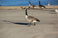 Canada geese. Adult Canada geese walk in a riverside parking lot Royalty Free Stock Images