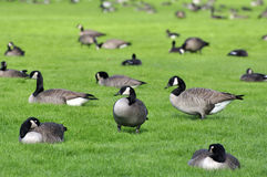 Canada Geese. Burnaby bc canada Royalty Free Stock Photography