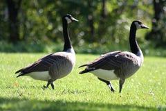 Free Canada Geese Stock Photos - 279703