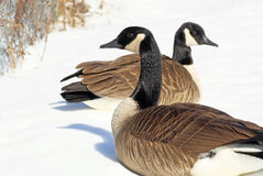 Canada Geese Stock Photography