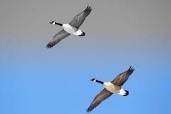 Canada Geese Royalty Free Stock Photos
