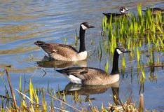 Free Canada Geese Royalty Free Stock Photos - 42542858