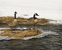 Free Canada Geese Stock Image - 5563451