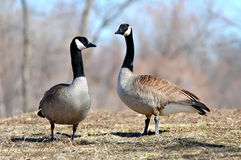 Canada Geese Stock Images