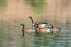 Canada geese. Swimming on a lake Stock Photos