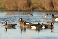 Free Canada Geese Stock Images - 640134