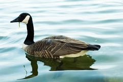 Canada geese. Swimming Stock Photos