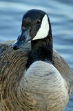 Canada geese. Canada goose close up Royalty Free Stock Photos