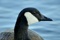 Canada geese. And its beak Stock Photo