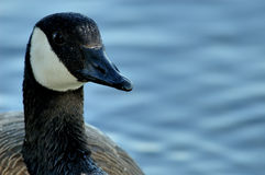 Canada geese. Beak Stock Images