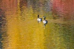 Canada Geese on an Autumn Golden Pond Royalty Free Stock Photos