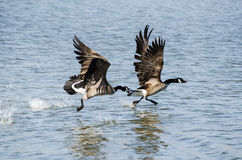 Canada Geese Battle Royalty Free Stock Image