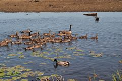 Canada Geese  BC, Canada Royalty Free Stock Photo