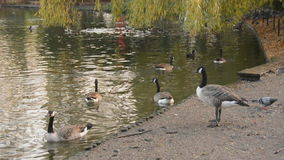 Canada geese being geese stock footage