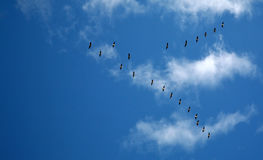 Canada Geese in a blue sky Royalty Free Stock Images
