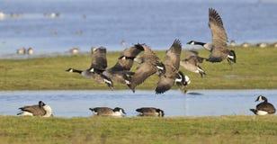 Canada Geese - Branta canadensis Royalty Free Stock Image