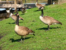 Canada Geese (Branta canadensis) Royalty Free Stock Images