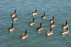 Canada Geese (Branta canadensis) Stock Photography