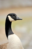 Canada geese (branta Canadensis) Stock Image