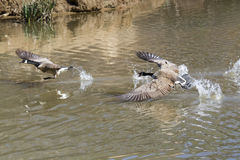 Canada geese (Branta canadensis) fighting Stock Photography