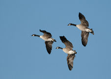 Canada geese (Branta canadensis) Stock Images